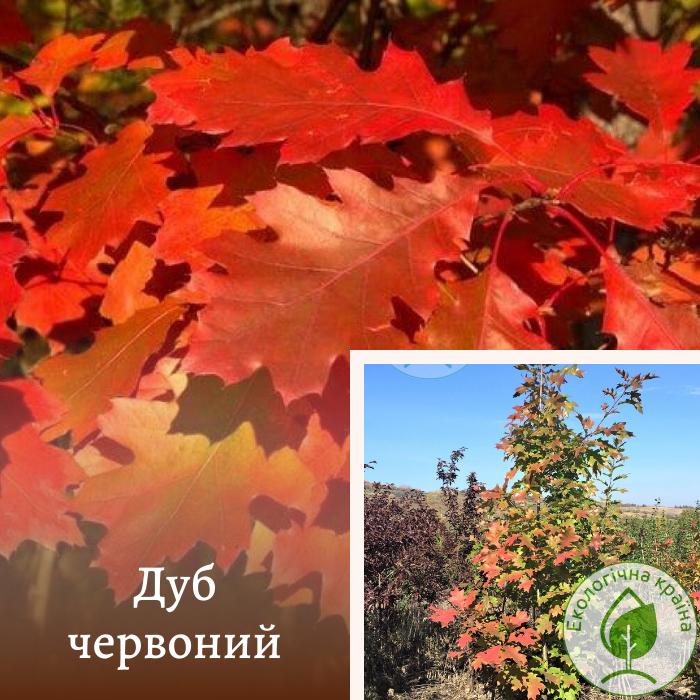 """Дуб червоний """"Quercus Rubra"""" 4-5 м"""
