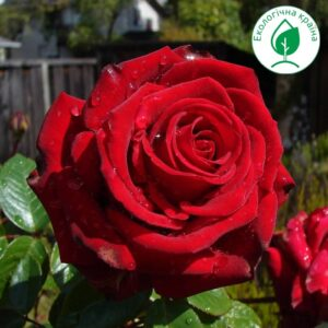 """Троянда """"Explorer"""""""