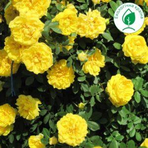 "Троянда ""Yellow Doll"" с7"