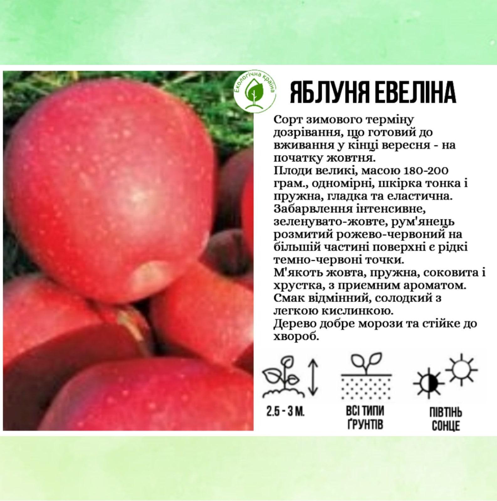 """Яблуня """"Евеліна"""""""