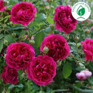 """Троянда """"Falstaff"""""""