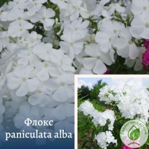 Флокс paniculata Alba