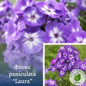 "Флокс paniculata ""Laura"""