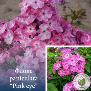 """Флокс paniculata """"Pink eye"""""""