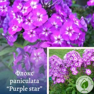 "Флокс paniculata ""Purple star"""
