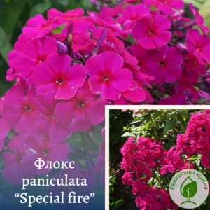 "Флокс paniculata ""Special fire"""