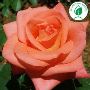 "Троянда ""Folklore"""