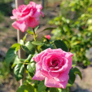 Троянда штамбова Рожева англійська ВКС