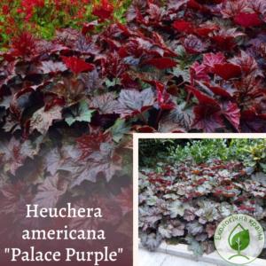 "Гейхера ""Palace Purple"""