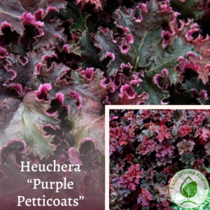 "Гейхера ""Purple Petticoats"""