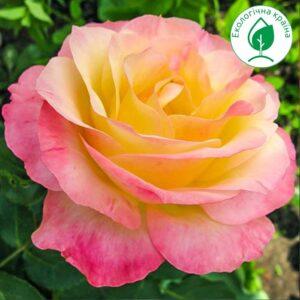 "Троянда ""Gloria Dei"""
