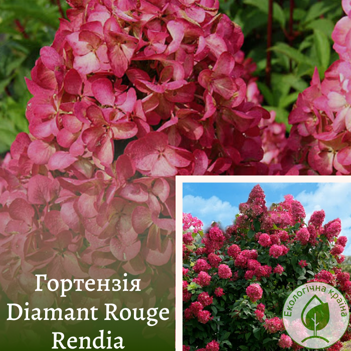 """Гортензія """"Diamant Rouge Rendia"""" 0,15-0,2 м"""