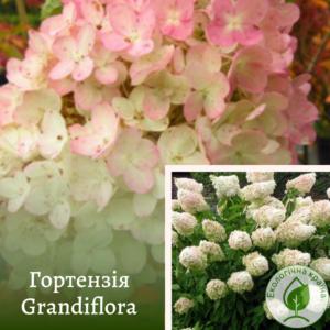 Гортензія Grandiflora