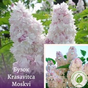 Бузок Krasavitca Moskvi 0,7-1 м
