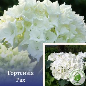 Гортензія Pax