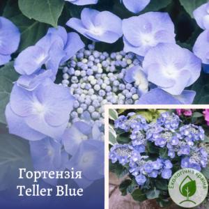 Гортензія Teller Blue