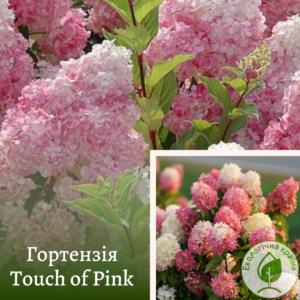 Гортензія Touch of Pink