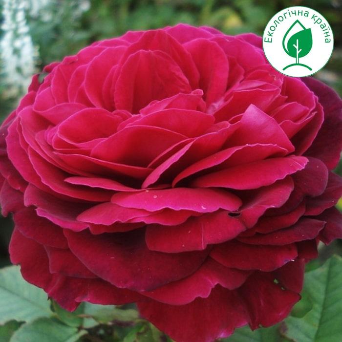 """Троянда штамбова """"Gospel"""" c7"""