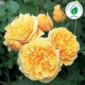 """Троянда """"Graham Thomas"""" ВКС"""