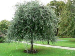 "Груша срібляста (Pyrus salicifolia) ""Pendula"" ВКС 2-2,6 м"