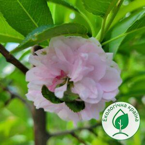 """Сакура (Prunus amygdalus) """"Blireana"""" ВКС 1,5-2 м"""