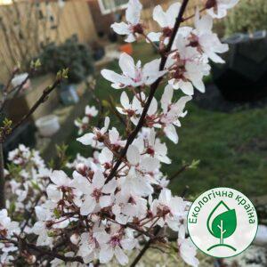 """Сакура (Prunus cerasifera) """"Hessei"""" 0,4-0,6 м"""