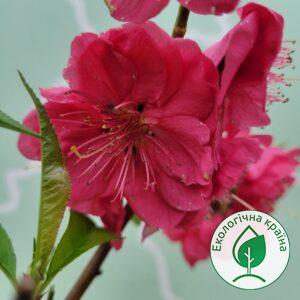 "Сакура (prunus persica) ""Melred Weeping"" Ком 1,8м"