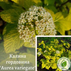 """Калина гордовина """"Aurea variegate"""" ВКС 0,5-1 м"""