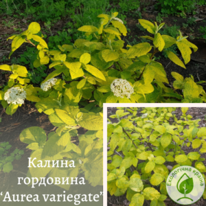 "Калина гордовина ""Aurea variegate"" с7,5"