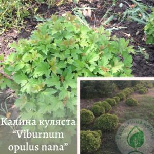 """Калина куляста """"Viburnum opulus nana"""" 0,25-0,3 м"""