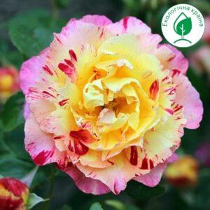 """Троянда """"Camille Pissarro"""""""