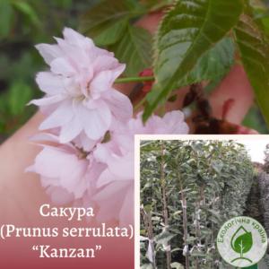 "Сакура (Prunus serrulata) ""Kanzan"" 1,2-1,5 м"