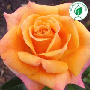 "Троянда ""Caramba"""