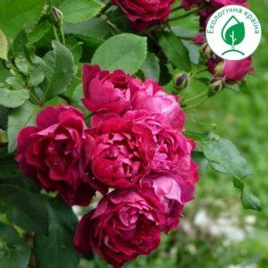 """Троянда """"Cardinal Hume"""" ВКС"""