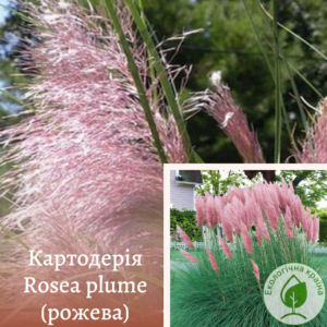 Картодерія Rosea plume (рожева)