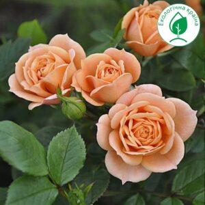 "Троянда ""Clementine"" ВКС"