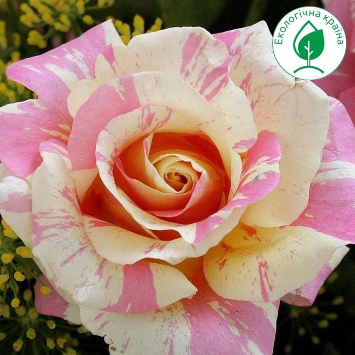 """Троянда """"Claude Monet"""""""