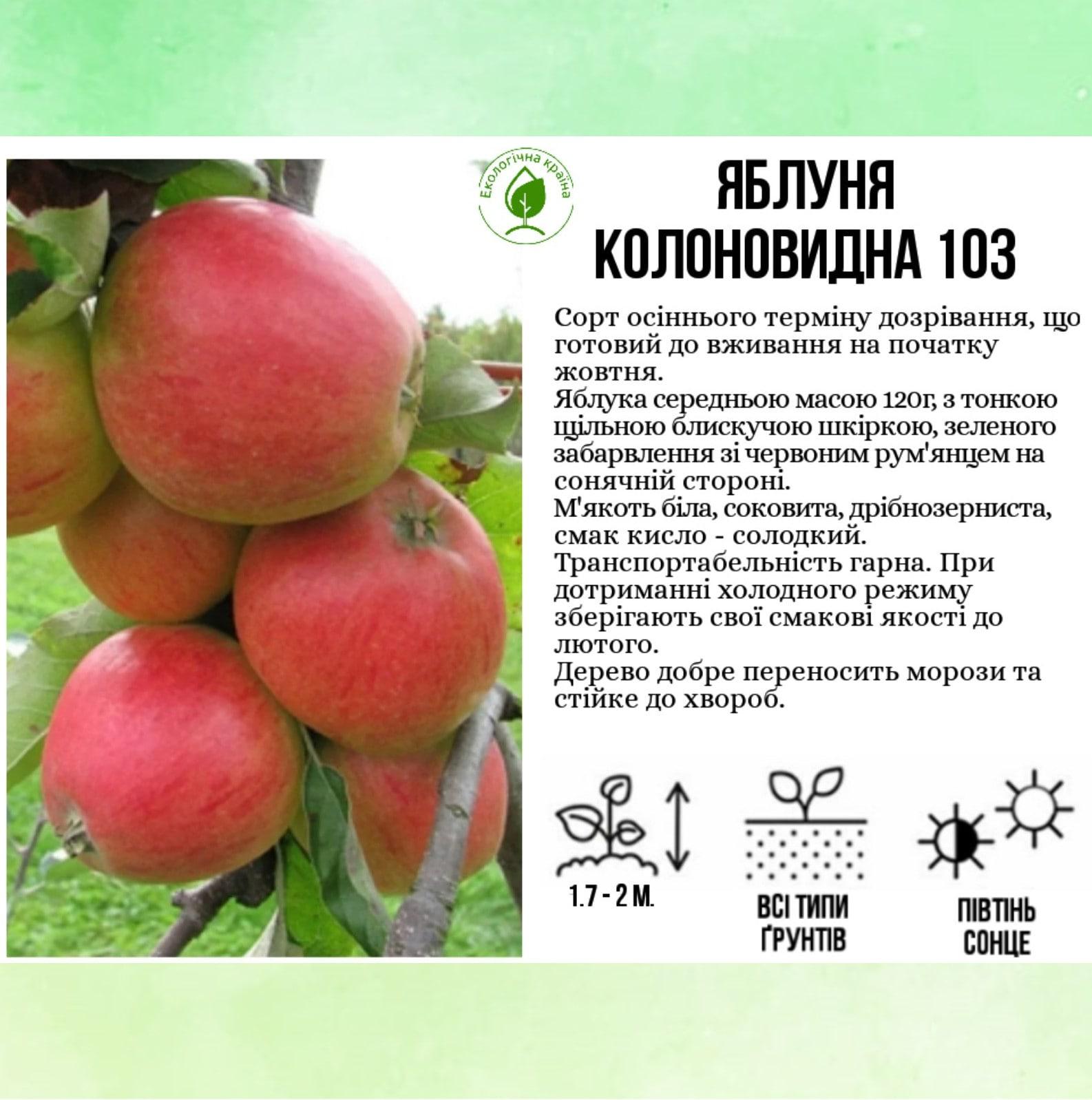 """Яблуня """"КВ 103"""""""