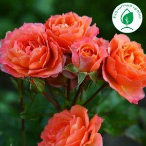 """Троянда """"Colibri"""""""