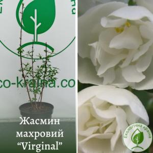 "Жасмин махровий ""Virginal"" в с3"
