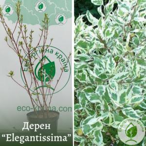 """Дерен """"Elegantissima"""" в с15"""