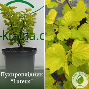 "Пухироплідник ""Luteus"" с7,5. 4-5 роки"