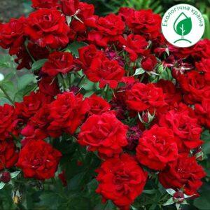 """Троянда """"Cordula"""" с7"""