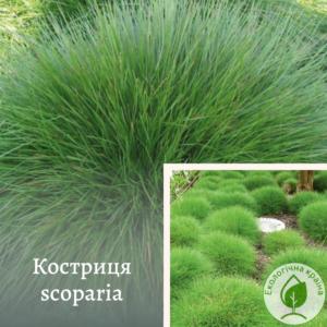 Костриця scoparia