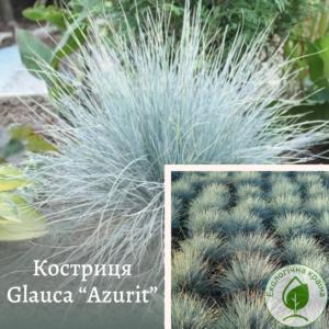 "Костриця Glauca ""Azurit"""