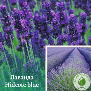 "Лаванда ""Hidcote blue"""