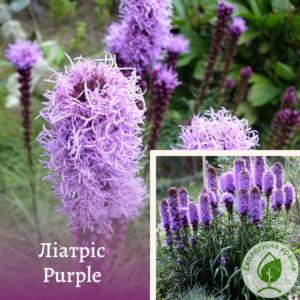 Ліатріс Purple