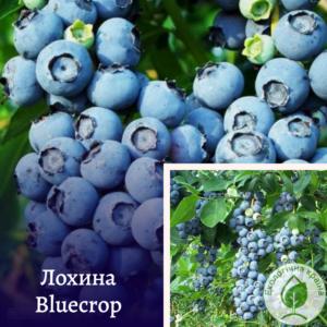 """Лохина """"Bluecrop"""" в р9"""