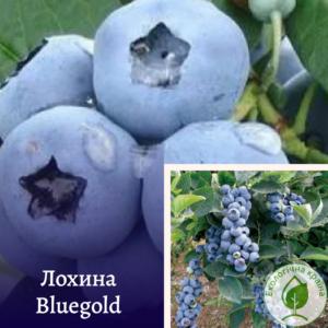 """Лохина """"Bluegold"""" в р9"""