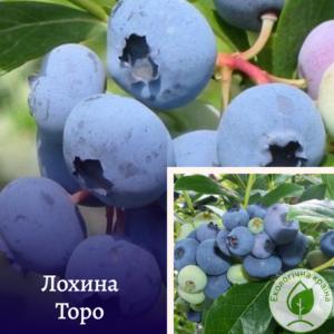 """Лохина """"Торо"""" в р9"""